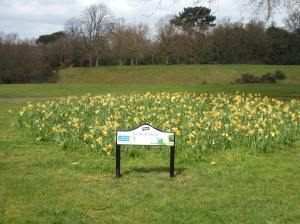 Daffodils in the 'Feld of Hope', Martins Hill.