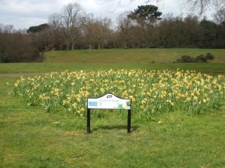 Daffodils in the 'Feld of Hope', Martins Hill.