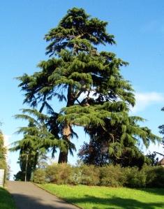 Deodar tree in Library Gardens