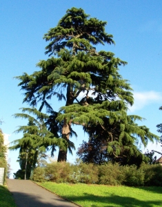Deodar tree in Library Gardens
