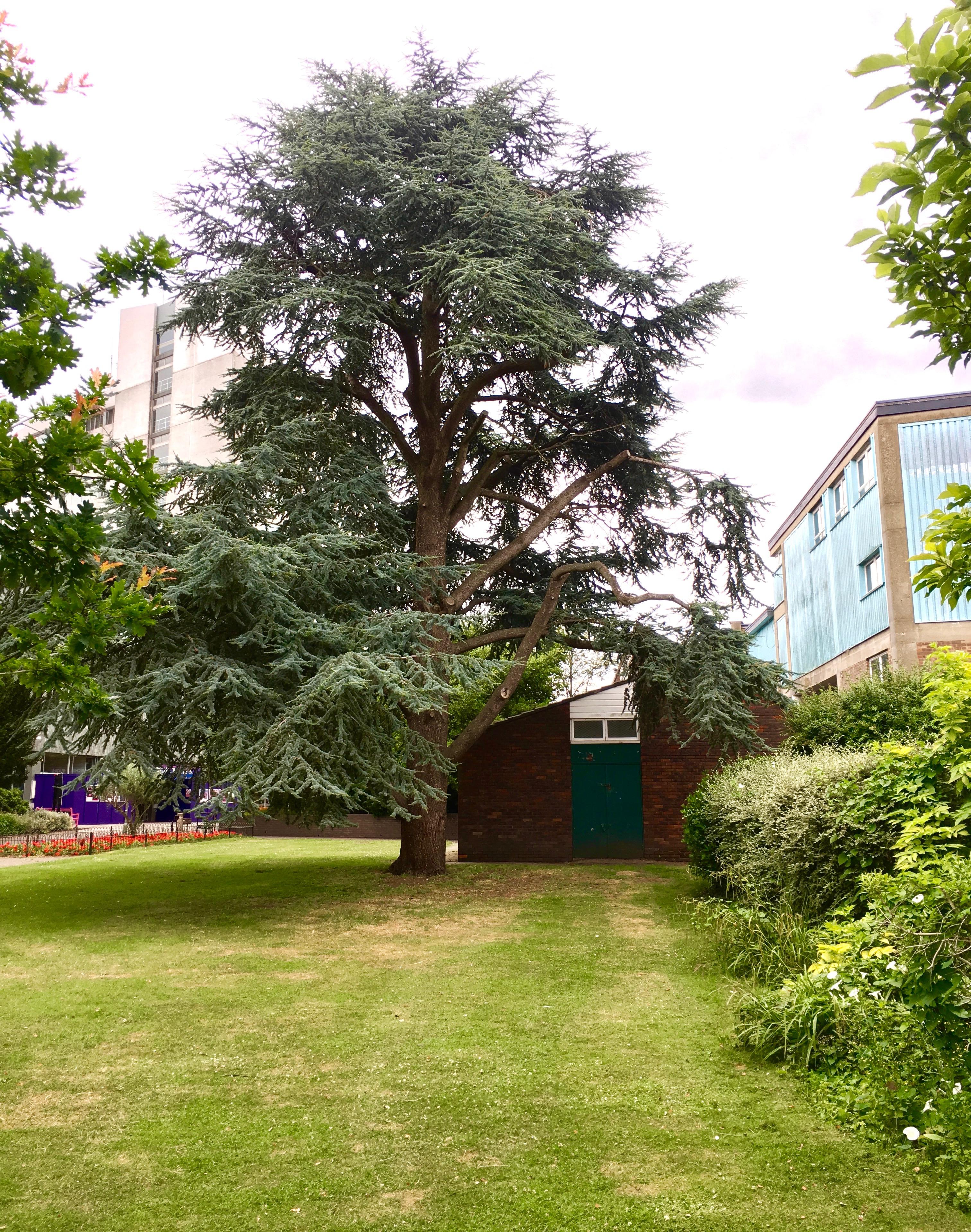 Cedar tree under development threat in Library Gardens